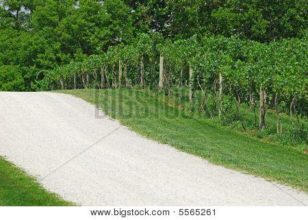 Unpaved Road Alongside Of The Vineyard