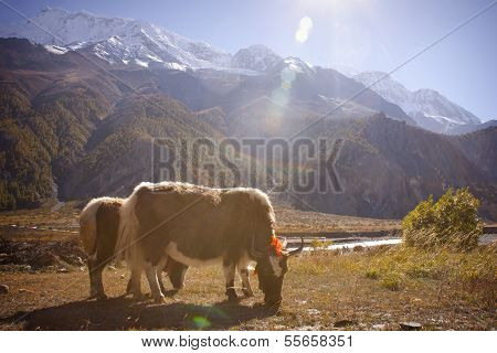 Yak In Himalaya On The Way From Manang To Thorung Phedi, Annapurna Conservation Area, Nepal.