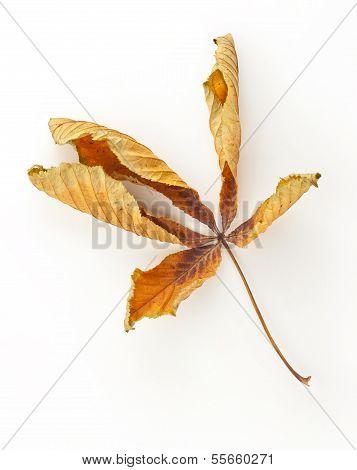 Dead Horse Chestnut Leaf