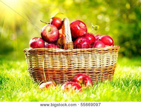 Organic Apples in a Basket outdoor. Orchard. Autumn Garden. Green Grass