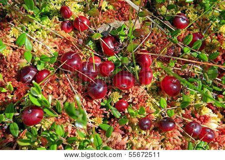 Cranberries In Fen
