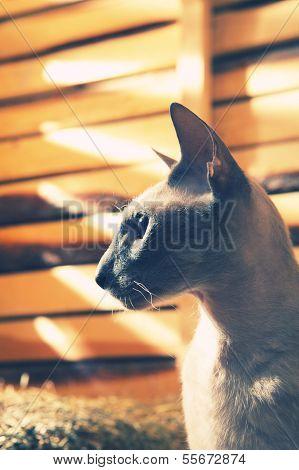 Peterbald Cat on Hayloft