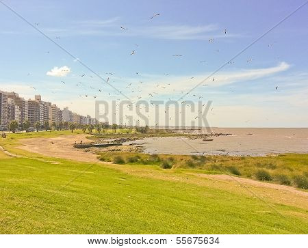 Group Of Seagulls In The Coast Of Montevideo