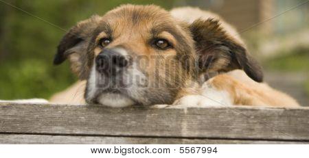 Bored Older Dog