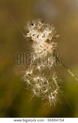 Dandelion Fluffly Seeds