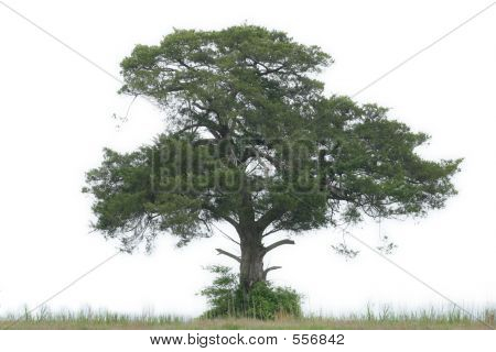 Cedar Isolated