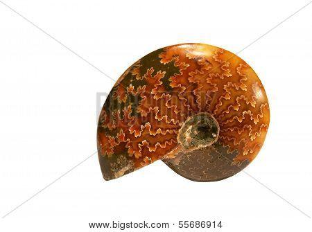 Ammoniten fossil