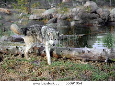 Wolf Kennzeichnung Gebiet