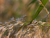 stock photo of pampa  - Close up of a grasshopper feeding on pampas grass - JPG