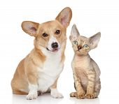 pic of corgi  - Portrait of a pembroke welsh corgi and devon rex kitten on white background - JPG