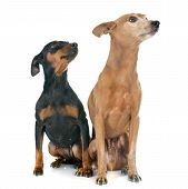 stock photo of miniature pinscher  - purebred miniature pinschers in front of white background - JPG