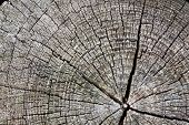 picture of pinus  - Old tree stump of Scotch pine  - JPG
