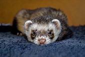 picture of ferrets  - Sleepy sable ferret  - JPG