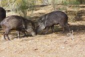 picture of wild hog  - Javelinas are members of the peccary family - JPG