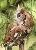 foto of screech-owl  - a little red phased screech owl in nature alone daytime - JPG
