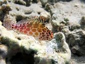stock photo of hawkfish  - A shy pixie hawkfish on a bed of rocks - JPG