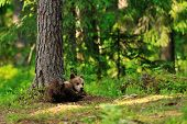 stock photo of bear cub  - Brown bear cub lying in primeval forest - JPG
