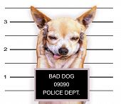 stock photo of felon  - a mugshot of a cute chihuahua - JPG