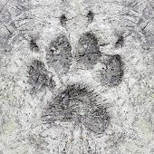 stock photo of mud pack  - The Wolf Track in a frozen ground - JPG