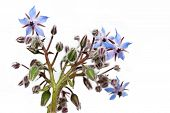 stock photo of borage  - Borage herb flowers on a white background - JPG