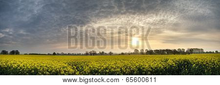 Panorama Landscape Rapeseed Canola Field In Diffuse Hazy Morning Sun