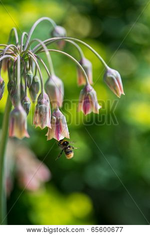 Ornamental Onion Plant Nectaroscordum Siculum With Bee Collecting Pollen