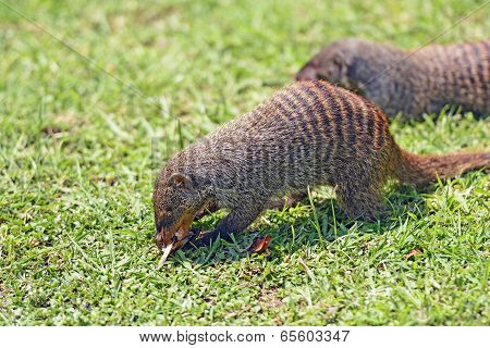 Banded Mongoose In Africa