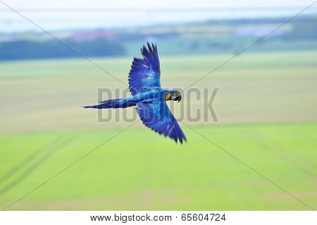 Flying Blue-and-yellow Macaw - Ara Ararauna Upon Fields