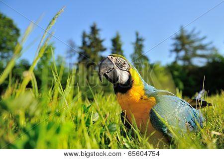 Closeup Blue-and-yellow Macaw - Ara Ararauna In Grass