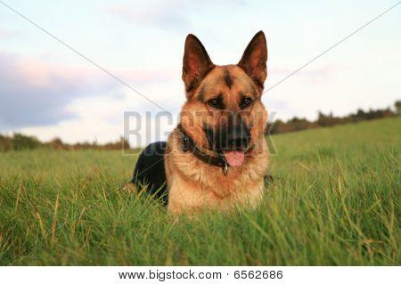 Alsatian ( German Shepherd Dog )