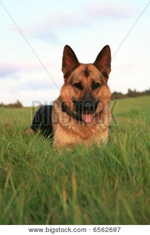Alsatian ( German Shepherd Dog )