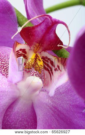 Macro Of Pink Orchid Flower