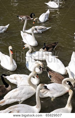 Swans on River Avon, Stratford-upon-Avon.