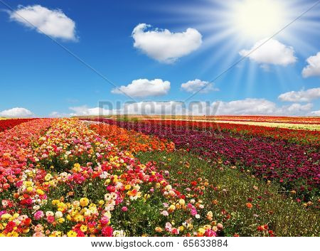Flowers for export. Field of multi-colored decorative buttercups