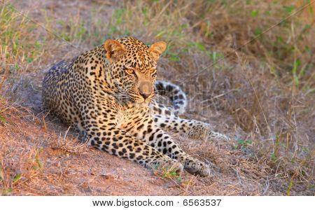 Leopard Resting In Savannah