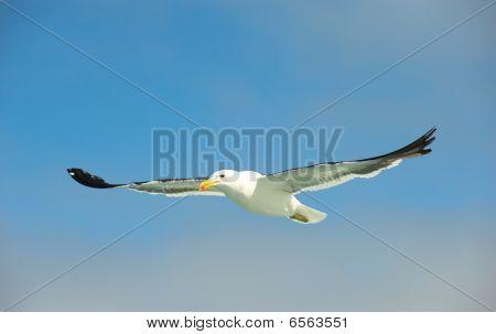 Cape (kelp) Gull In Flight