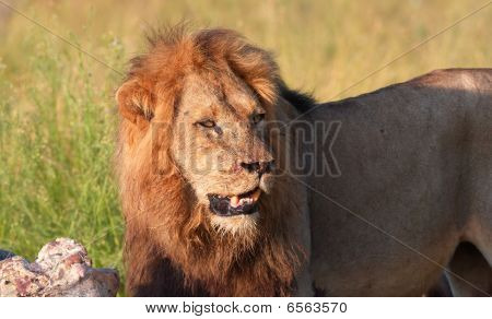 León (panthera Leo) solo en Savannah