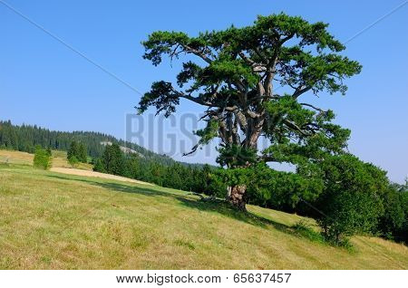 Holy Pine is Kamena Gora symbol, Serbia