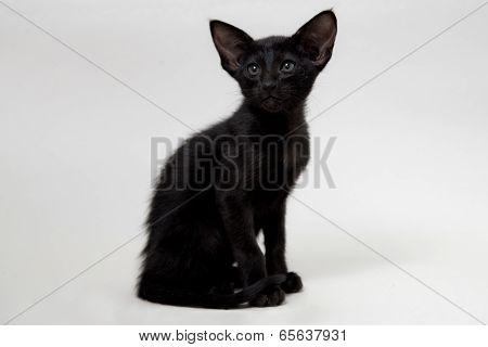 Funny black oriental kitten