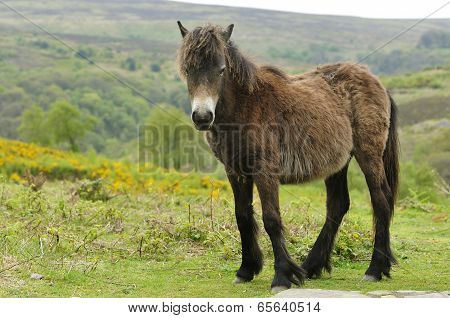 Young Exmoor Pony