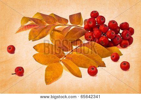 Autumn Rowan