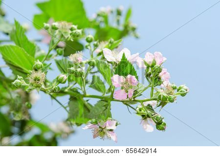 Summer Raspberry Blossoming Bush With Purple Flowers