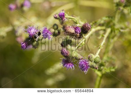 Thistle flower with bumble-bee