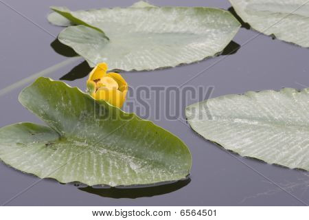 Water Lily And Pads.