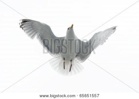 Hering gull in flight