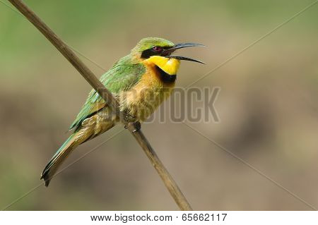 A Little-bee Eater (merops Pusillus) With Its Mouth Open