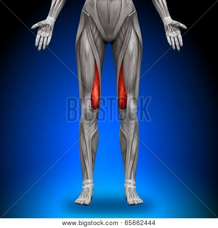 Vastus Medialis - Female Anatomy Muscles