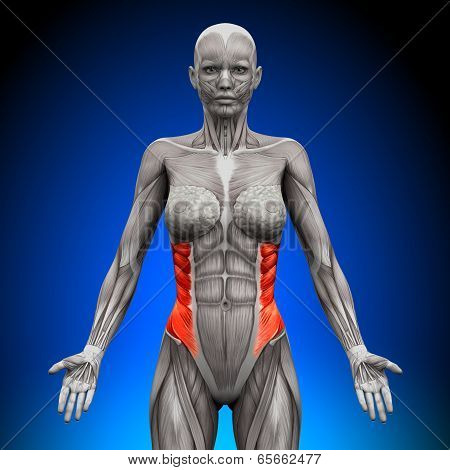 External Oblique - Female Anatomy Muscles