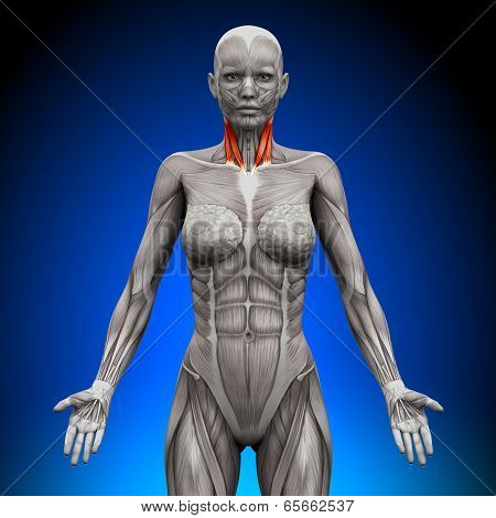 Neck - Female Anatomy Muscles