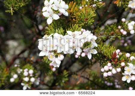 White Wildflowers, Tasmania